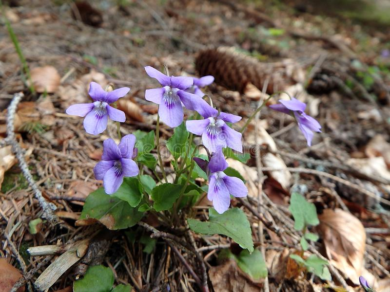 Violeta salvaje del bosque en el bosque de la primavera fotografía de archivo libre de regalías