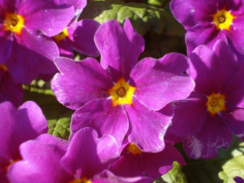 Violetas fotografia de stock