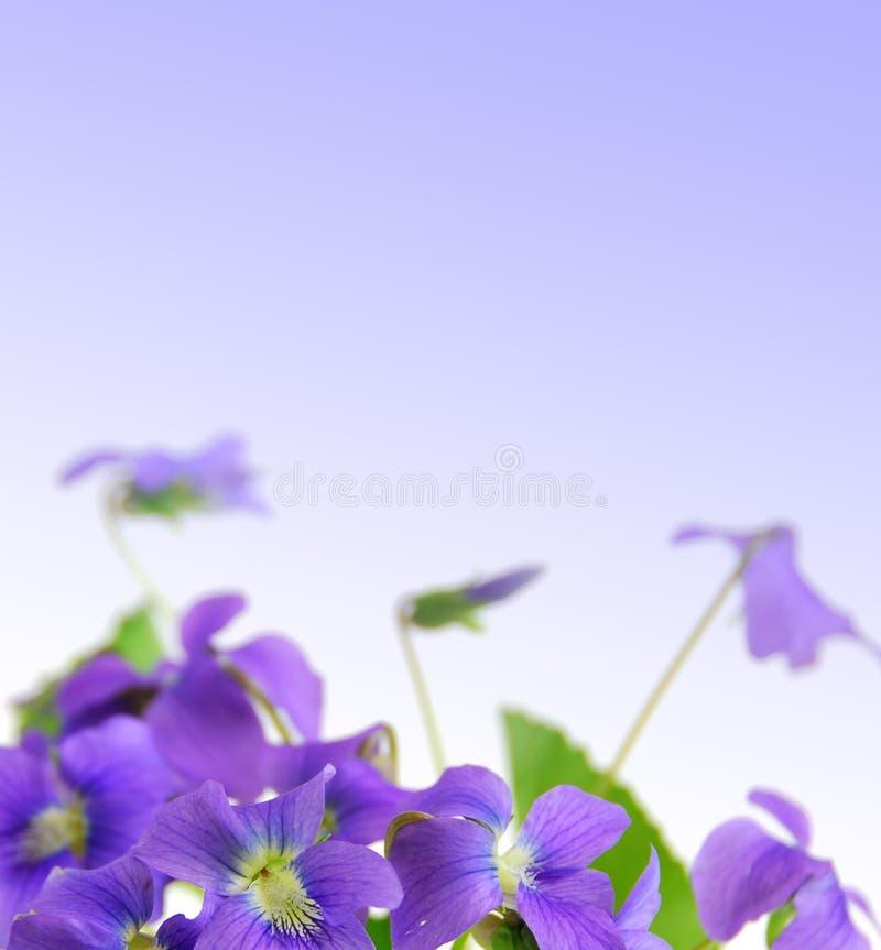 Violetas foto de stock royalty free