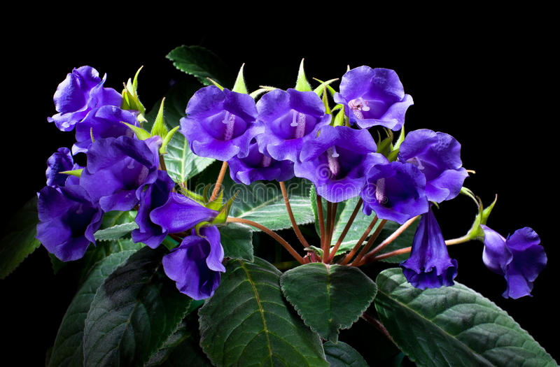 Violetas imagem de stock royalty free