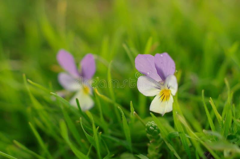 violetas fotografia de stock royalty free