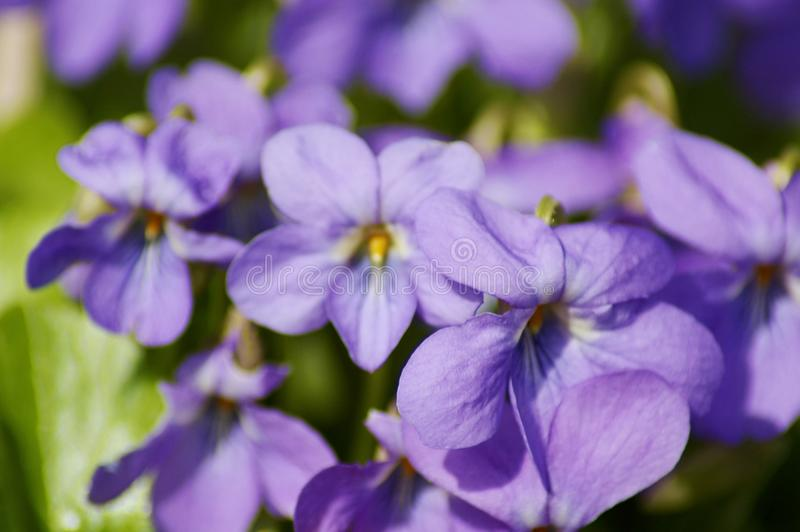 violetas foto de stock