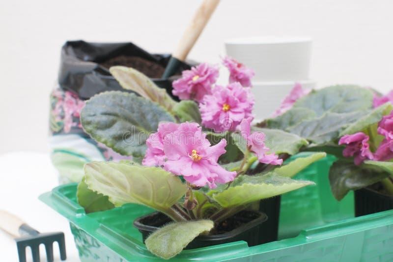 Violetas africanas do Saintpaulia Plantas de transplantação, molhando, fundo branco fotos de stock royalty free