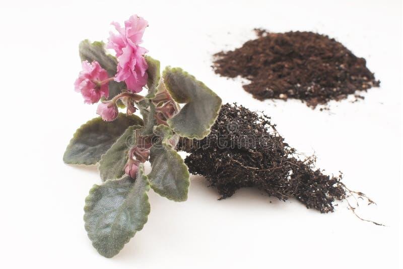 Violetas africanas do Saintpaulia Plantas de transplantação, molhando, fundo branco imagens de stock