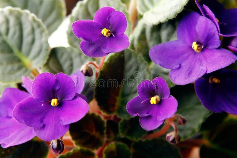 Violetas africanas (saintpaulia) imagem de stock royalty free