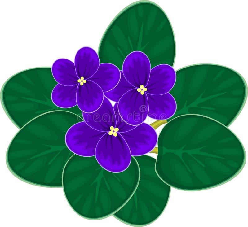 Violetas africanas (saintpaulia) ilustração stock