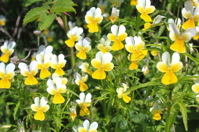 Violetas amarillo-blancas salvajes de las flores imagenes de archivo