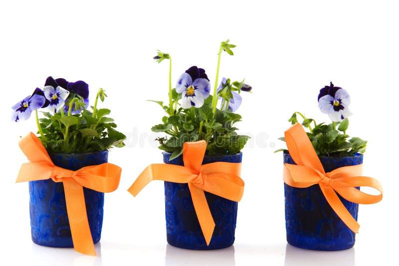 Violetas azuis fotos de stock