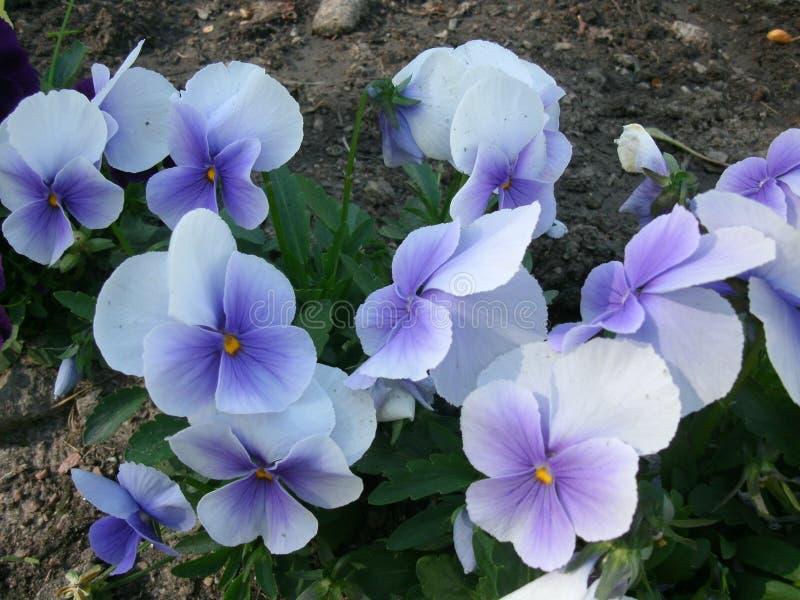 Violetas azuis fotografia de stock royalty free