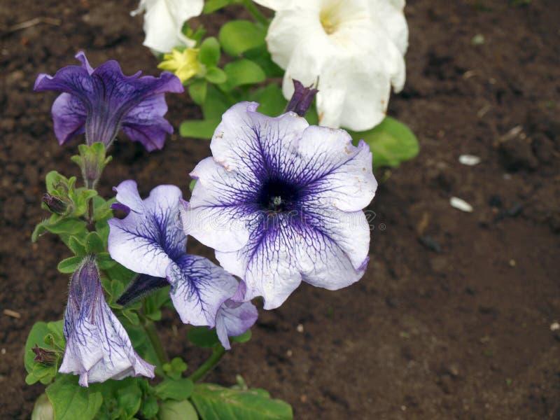 Violetas blancas azules en jardín de la primavera foto de archivo