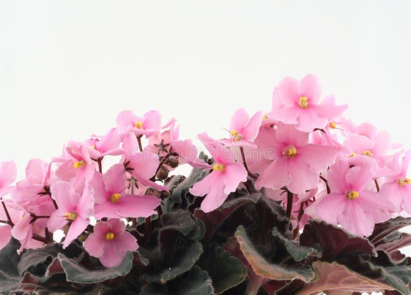 Violetas bonitas fotos de stock royalty free