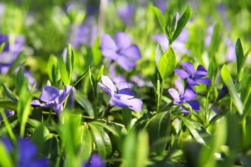 Violetas bonitas nas folhas e na grama verdes Flores e verdes Jardim ou parque Mola foto de stock