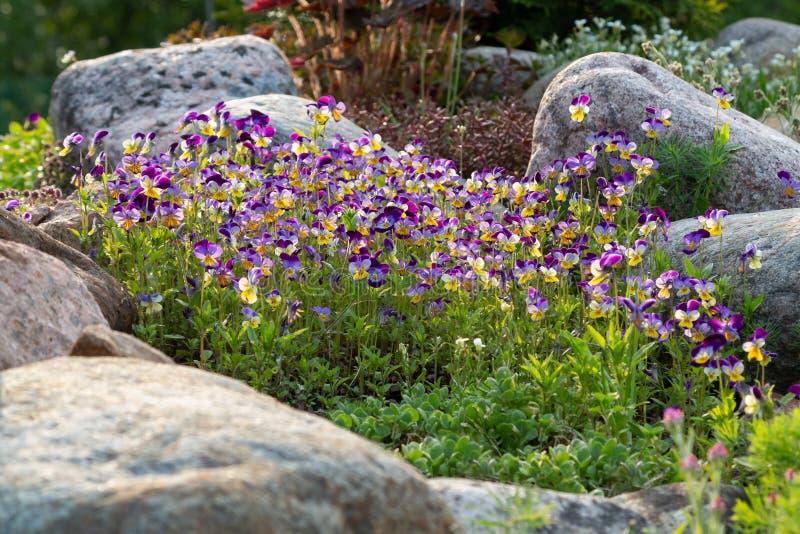 Violetas de florescência e outras flores em um jardim ornamental pequeno no jardim do verão fotografia de stock