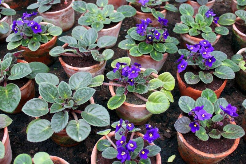 Violetas de Parma fotografia de stock
