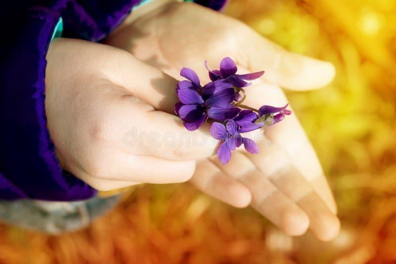 Violetas del penacho en las manos del niño foto de archivo