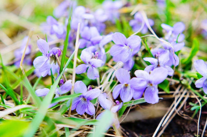 Violetas doces foto de stock royalty free
