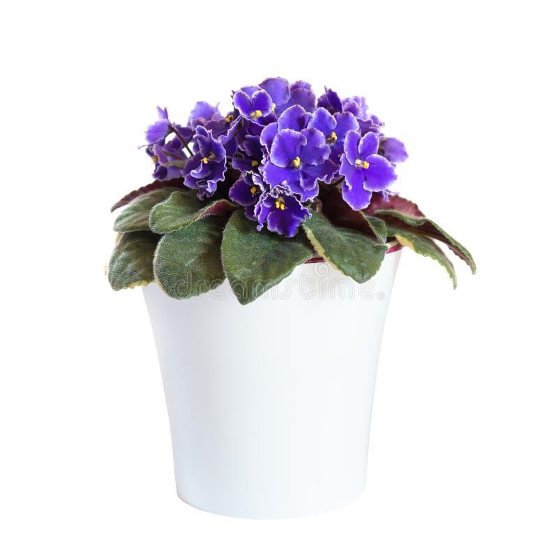 Violetas florecientes en la maceta aislada en el fondo blanco foto de archivo