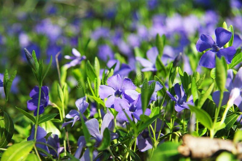 Violetas hermosas en hojas e hierba verdes Flores y verdes Jardín o parque Primavera foto de archivo