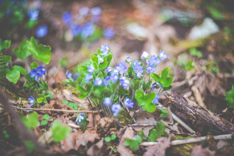 Violetas na floresta imagens de stock royalty free