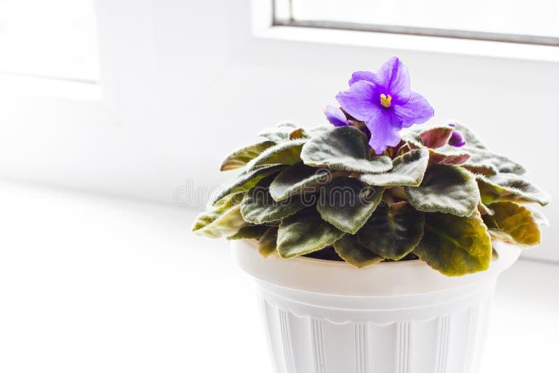 Violetas na janela imagem de stock