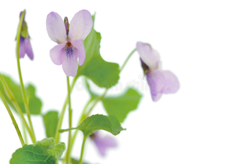 Violetas no fundo branco imagem de stock royalty free