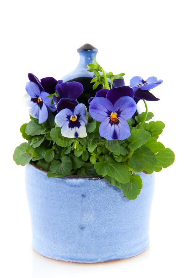 Violetas para o jardim imagens de stock