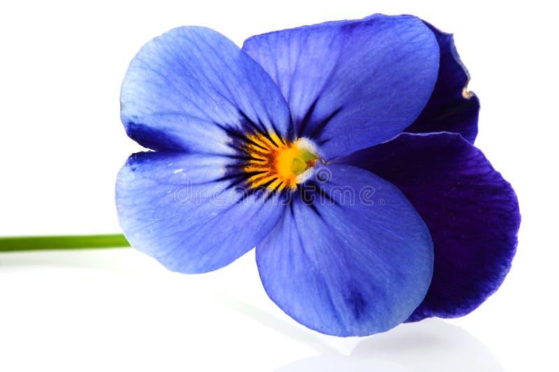 Violetas para o jardim imagens de stock royalty free