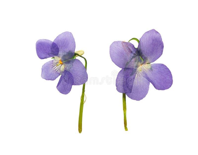 Violetas presionadas y secadas del bosque Aislado en blanco imágenes de archivo libres de regalías