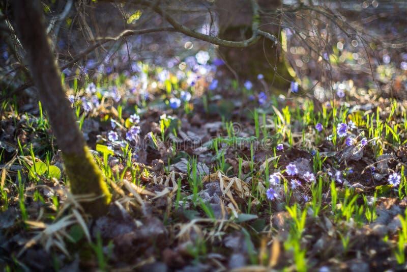 Violetas salvajes en bosque imagen de archivo libre de regalías