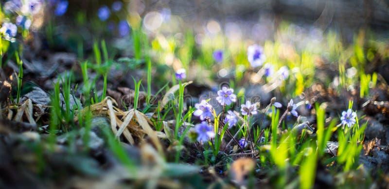 Violetas salvajes en bosque fotografía de archivo libre de regalías