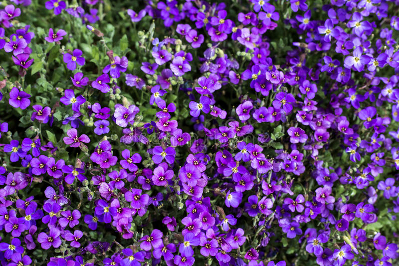 Violetas selvagens fotografia de stock royalty free