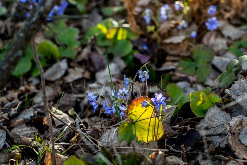Violetas selvagens da mola imagem de stock