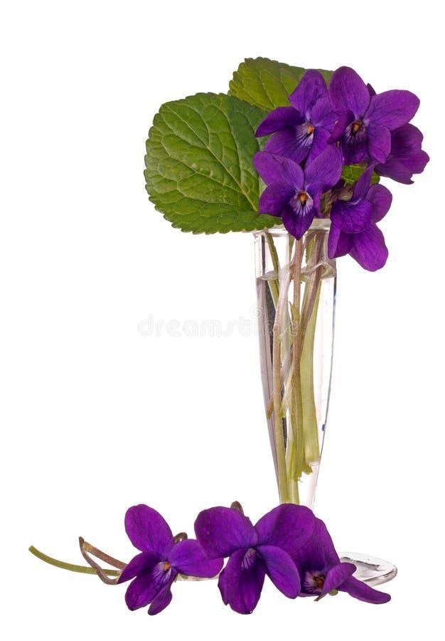 Violetas selvagens da mola - riviniana da viola, no isola de vidro pequeno do vaso fotos de stock