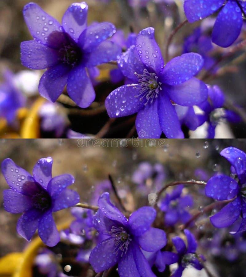 Violetas selvagens na chuva fotos de stock royalty free