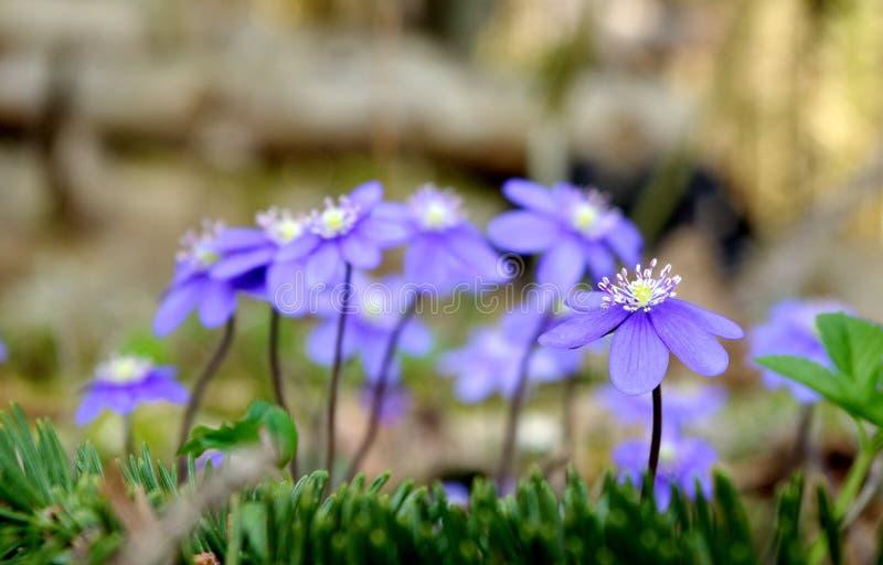 Violetas selvagens na floresta foto de stock