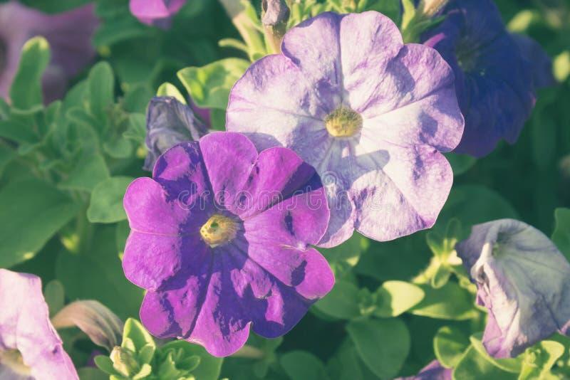 Violetblommor, tappning filtrerade färg arkivbild