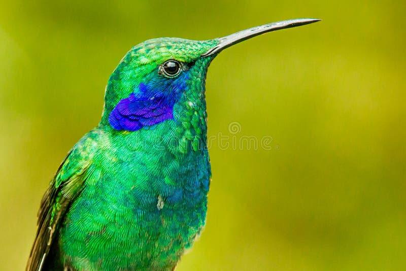 Violetear verde foto de archivo libre de regalías