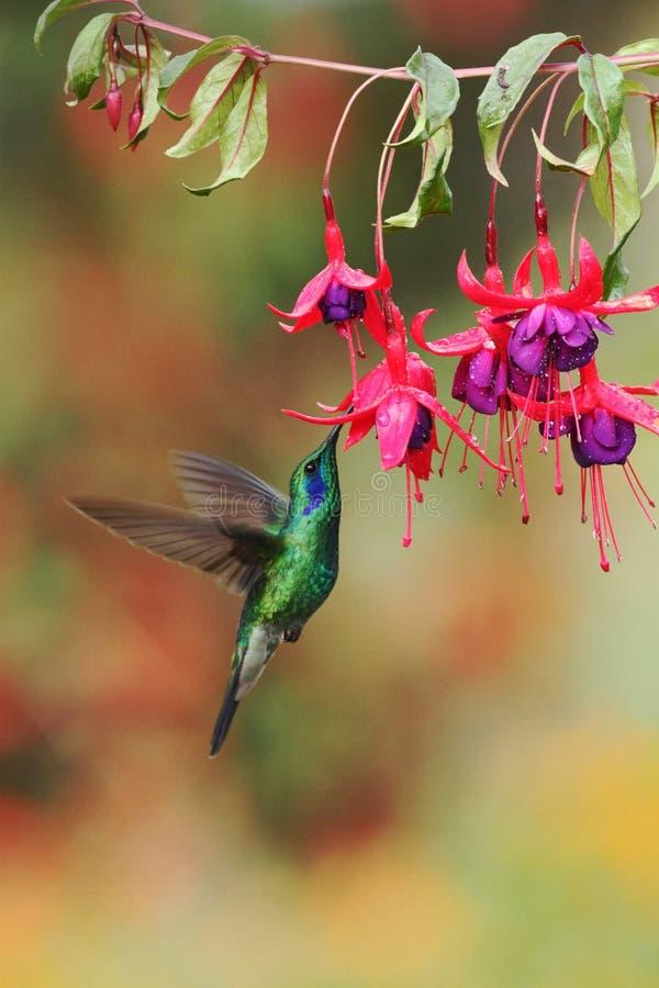 Violetear verde, thalassinus de Colibri, asomando al lado de la flor roja en jardín, pájaro del bosque tropical de la montaña, Co imágenes de archivo libres de regalías