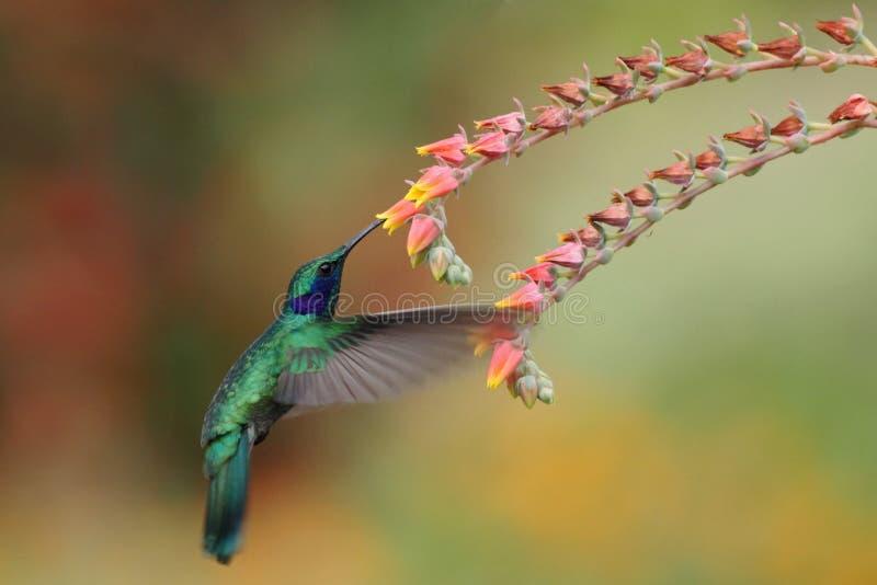 Violetear verde, thalassinus de Colibri, asomando al lado de la flor roja en jardín, pájaro del bosque tropical de la montaña, Co fotografía de archivo