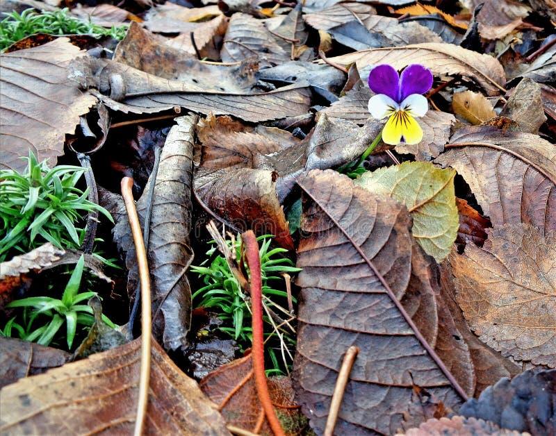 violeten royaltyfria foton