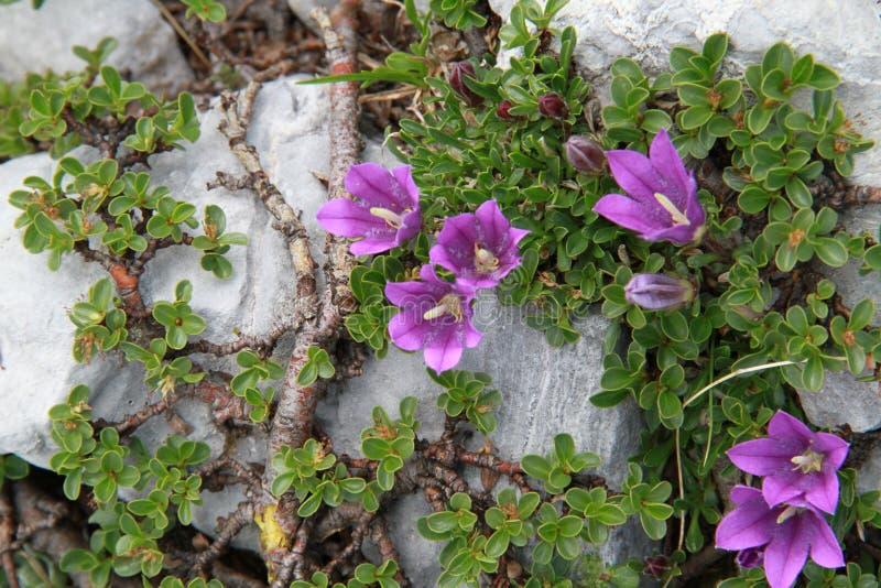 Violeten blommar i högt berg arkivbild