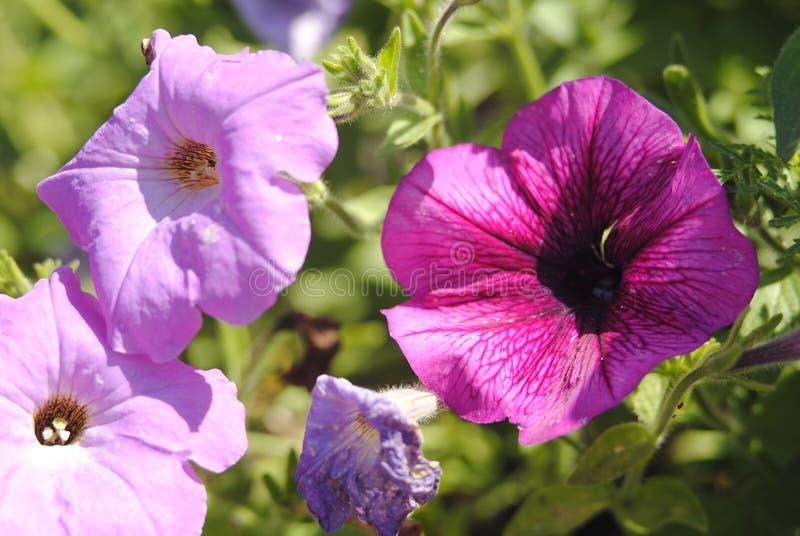 Violeten blommar petunian på en sommardag royaltyfri bild