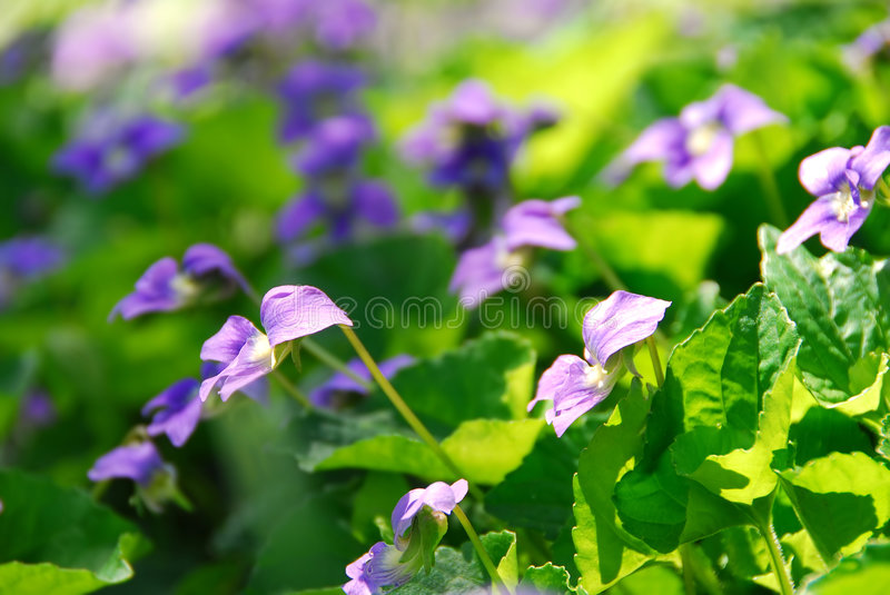 Download Violets stock photo. Image of lush, blooming, early, gentle - 1748668