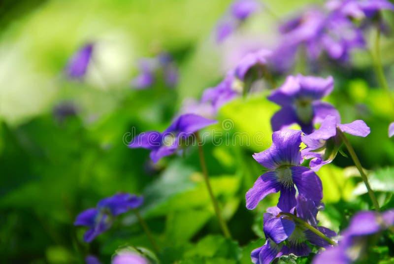 Download Violets stock photo. Image of flower, flora, blooms, freshness - 2381814
