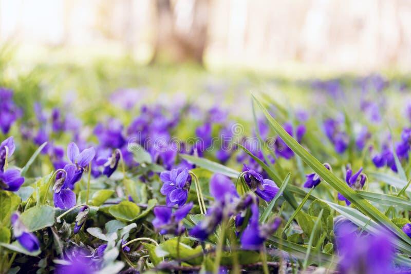 violets royaltyfria bilder