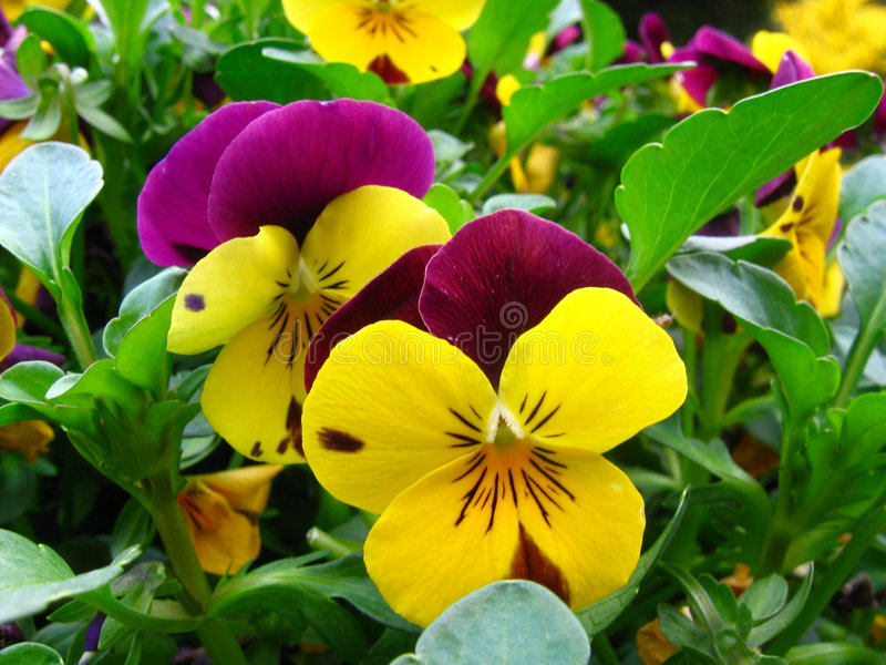 Violets are... royalty free stock photography