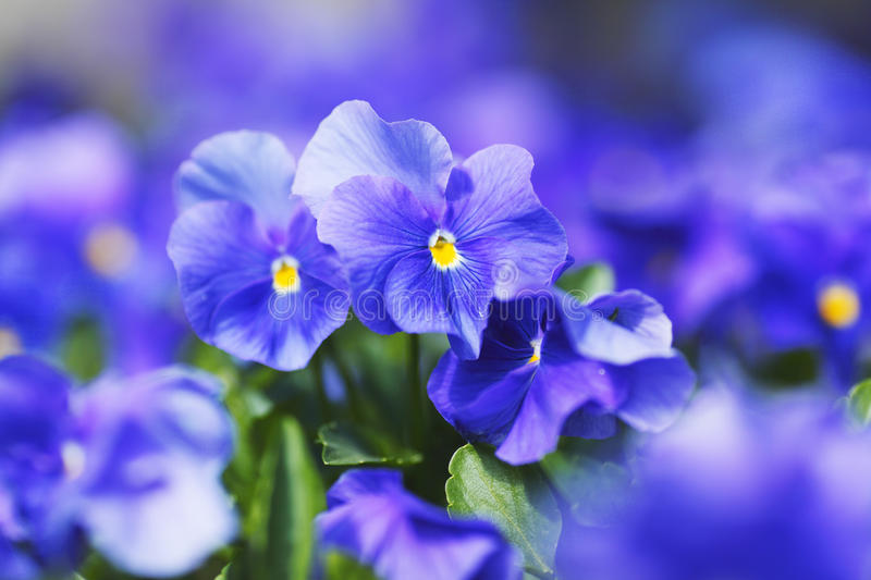 Download Violets stock image. Image of blossoming, macro, close - 32433487