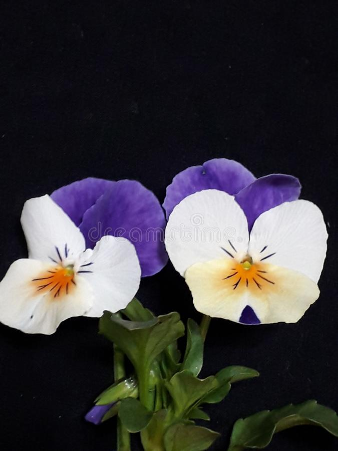 Beautiful violets with green leaves stock photography