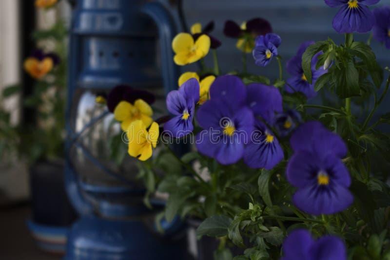 Violets blommar med den gamla olje- lampan arkivbilder