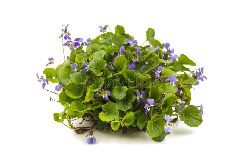 Violets blommar på vit arkivbilder